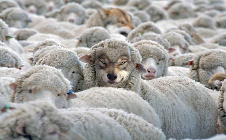 El lobo con piel de oveja