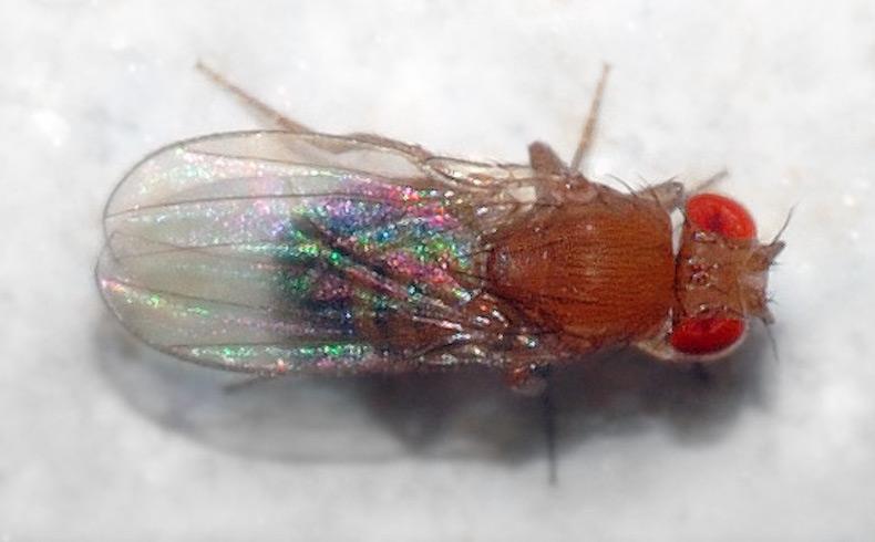 La mosca de la fruta recuerda el contenido calórico de sus alimentos