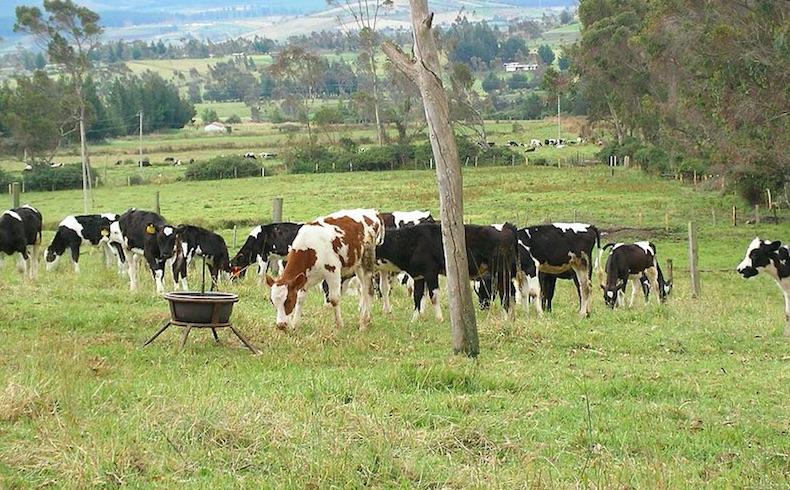 Livestock in Ecuador, SA